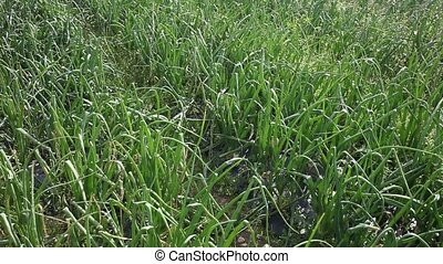 Rows of harvest of green onion in garden outdoor, no people. High quality FullHD footage