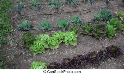 Rows of harvest of lettuce, beet and garlic in garden ...