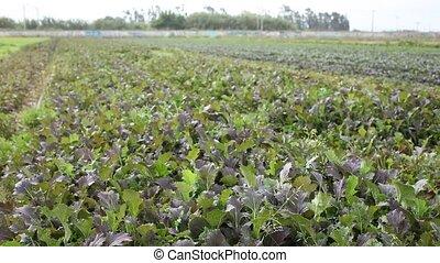 Rows of harvest of mustard leaf on the farm field - Mustard ...