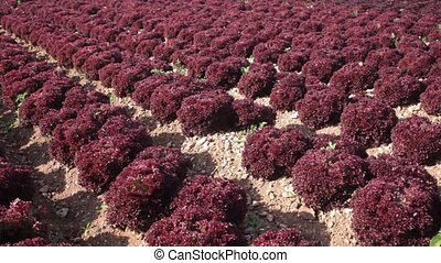 Rows of harvest of red lettuce in garden, no people. High quality FullHD footage