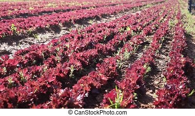 Red lettuce plants carefully growing in the garden
