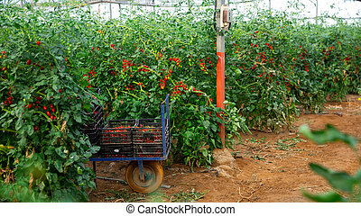 Rows of harvest of red tomatoes in greenhouse