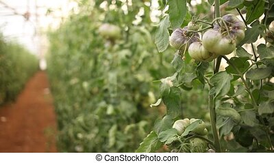 Rows of harvest of ripe blue tomatoes in farm greenhouse - ...