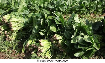 Rows of harvest of spinach in garden outdoor, no people. ...
