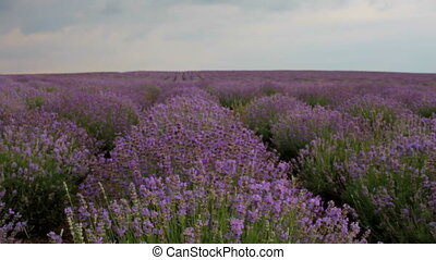 Rows of lavender bushes
