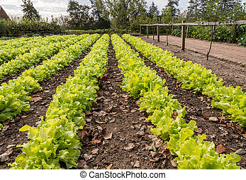 Rows of lettuce growing in traditional allotment or kitchen garden