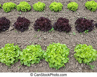 Rows of lettuce growing on a farm