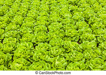 Rows of lettuce in a greenhouse