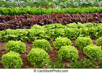 Rows of fresh lettuce plants in the countryside on a sunny day