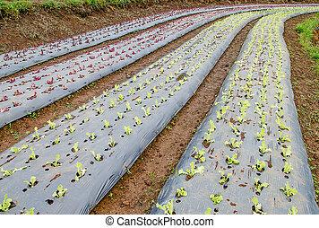 Rows of lettuce plants growing on farm