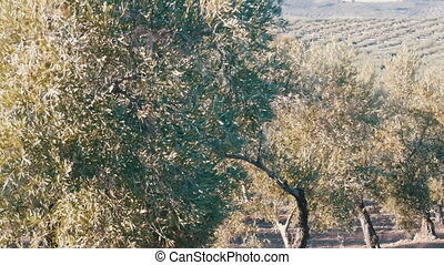 Rows of olive trees on the dry land in Spain