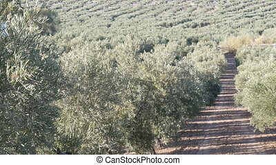 Rows of olive trees on the dry land in Spain - Rows of olive...