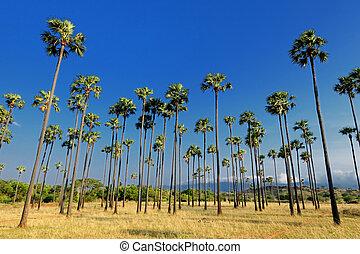 Palm Trees - Rows of Palm Trees at a Azhwarkurichi Tamilndu...