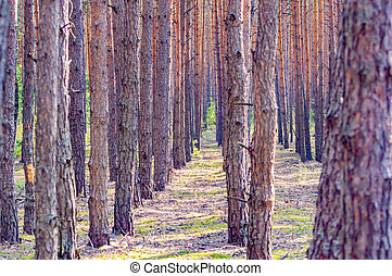 Rows of pine forest trees in the sun.
