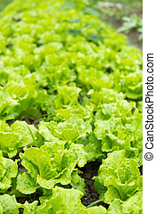 rows of planted lettuce vertical composition