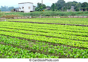 Rows of plants in a cultivated farmers field