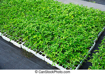 Rows of pots with tomatoes sprouts in greenhouse