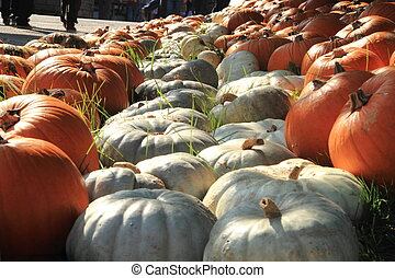 rows of pumpkins on the grass