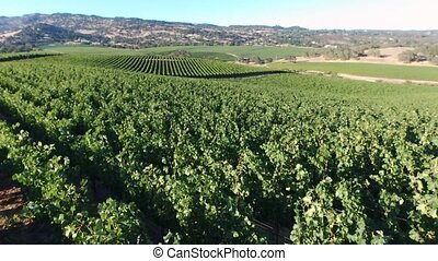 Rows of red grapes - Beautiful aerial view of rows of red ...