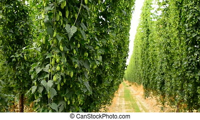Rows of ripe hop cones on the field growing on poles. Locked...