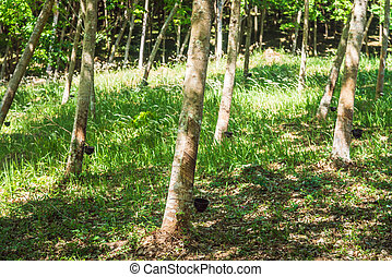 Rows of rubber trees in a plantation