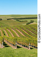 rows of Sauvignon Blanc grapevine growing on rolling hills...
