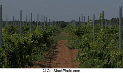 Rows of small grape vines