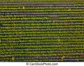 Rows of soil with young sprouted seedlings in spring, top ...