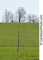 Rows of soy plants