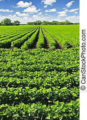 Rows of soy plants in a field - Rows of soy plants in a...