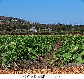 Rows of squash plants in a field
