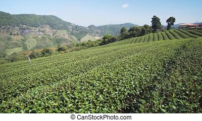 Rows of Tea Bushes on Picturesque Plantation in Thailand - ...