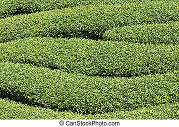 Rows of tea tree