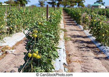 Rows Of Tomato Plants On A Farm