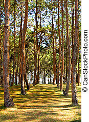 Rows of trees being tapped in a plantation.