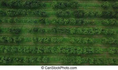 Rows of trees in green fruit garden. Aerial shot from drone moving higher