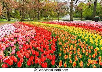Rows of tulip flowers