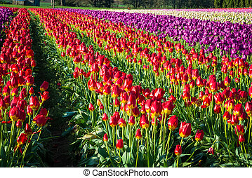 Rows of tulips at a flower farm