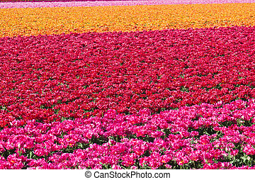 Rows of tulips on a flower farm in Holland