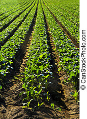 Rows of turnip plants in a field - Rows of turnip plants in...
