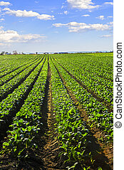 Rows of turnip plants in a field - Rows of turnip plants in ...