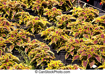 Rows Of Varigated Foliage Plants In a Nursery Setting