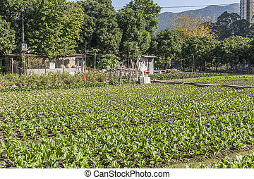 Rows of vegetables in farmland