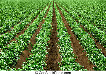 Rows of vibrant green crop plants - Field with rows of...