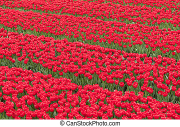 rows of vibrant red tulips in flower field