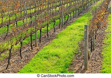 rows of vines #2