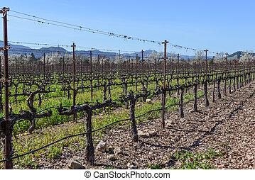 Rows of Vines in the Vineyard