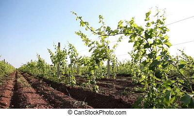 Rows Of Vineyard