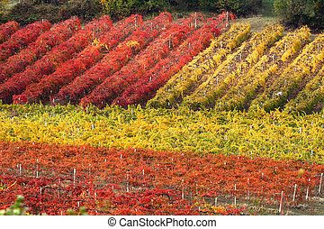 Rows of vineyard in autumn