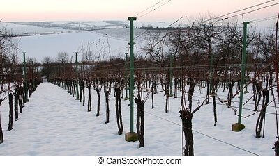 Rows of vineyards covered with white snow in winter....